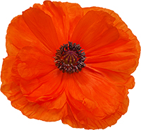 Photograph of a poppy